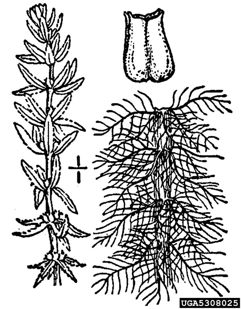 Watermilfoil Variable Leaf