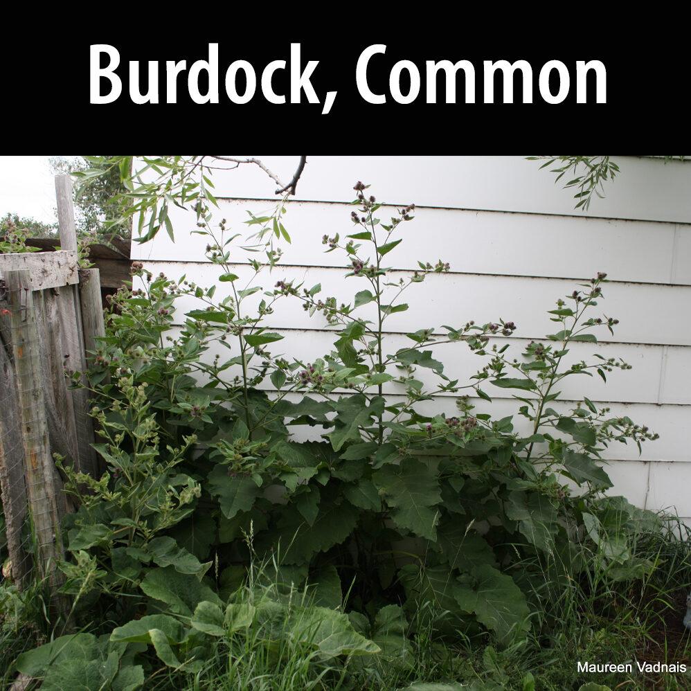 Burdock Common