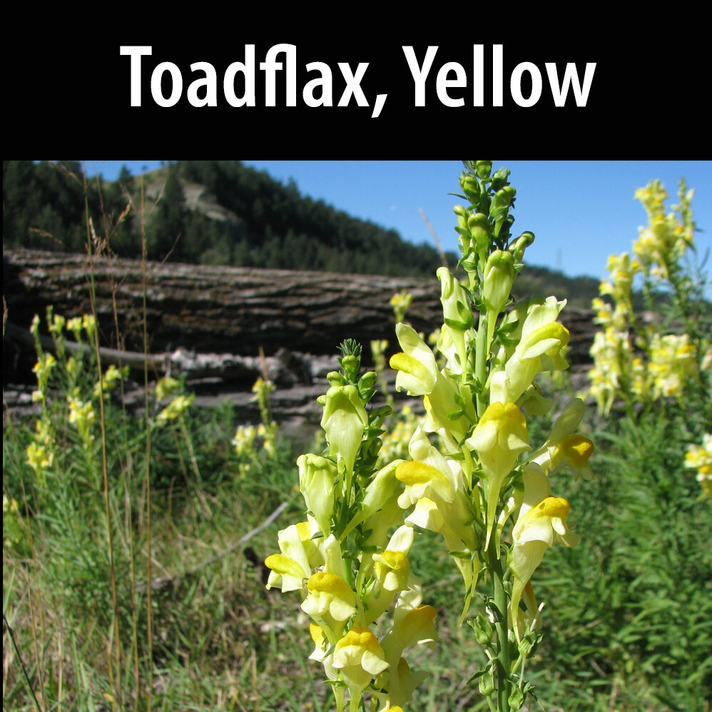 Toadflax, Yellow