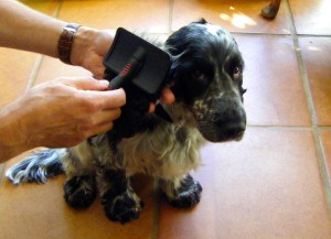 image for spaniel being brushed