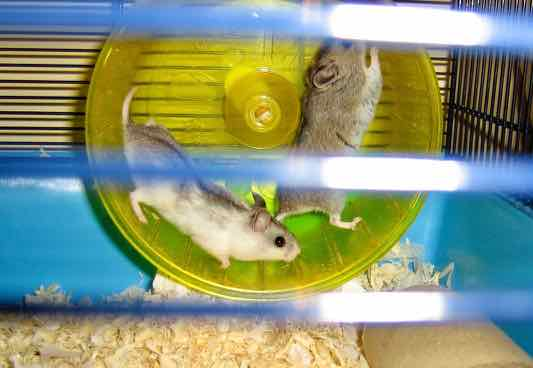 image for running hamsters in French