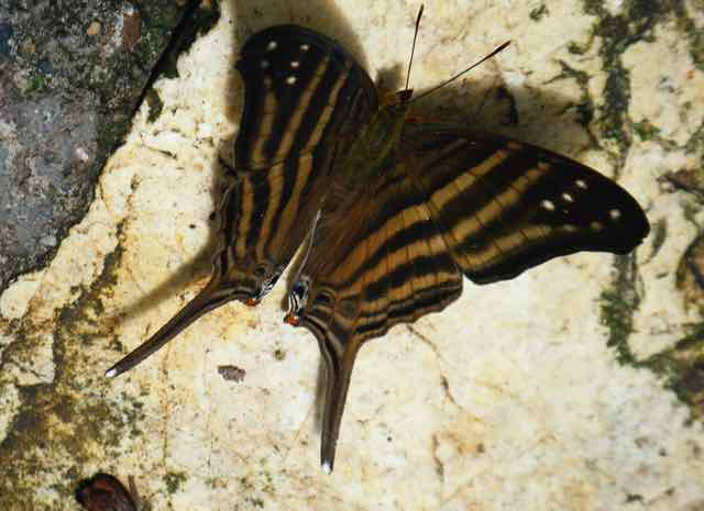 Brown butterfly in Spanish