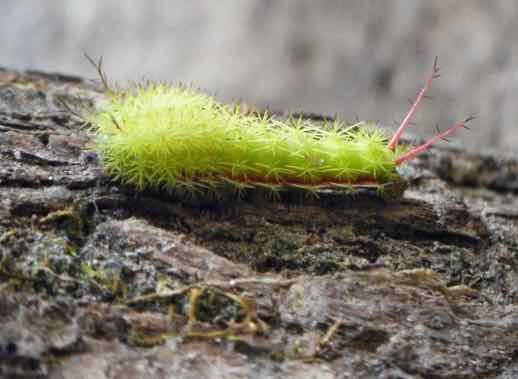 a caterpillar in Spanish - una oruga
