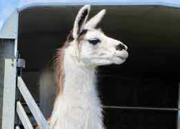 a llama in Spanish - una llama