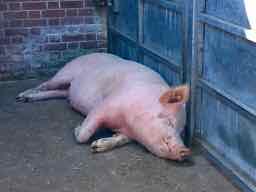 a pig in Spanish - un cerdo