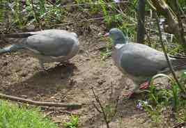 a pigeon in Spanish - una paloma