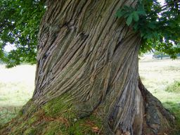 an old tree in French - un vieil arbre