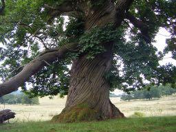 c'est un vieil arbre - it's an old tree in French
