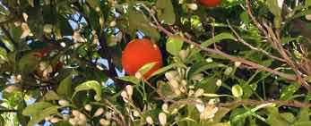 image for oranges in Spain