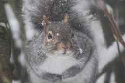 un écureuil gris - a grey squirrel