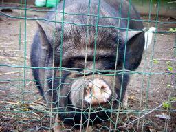 un vilain cochon noir