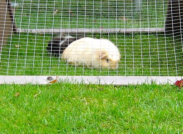 I prefer guinea pigs in Spanish = Prefiero los conejillos de Indias