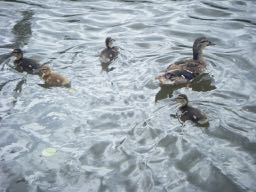 there are ducks in Spanish = hay patos