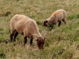 there are sheep in spanish = hay ovejas