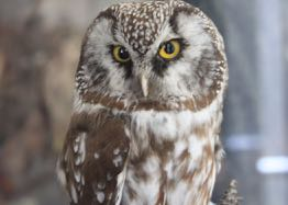 an owl in French = un hibou