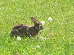 rabbit in French = un lapin