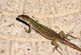 a lizard in French = un lézard