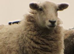 a sheep in French = un mouton
