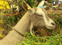 a goat in French = une chèvre