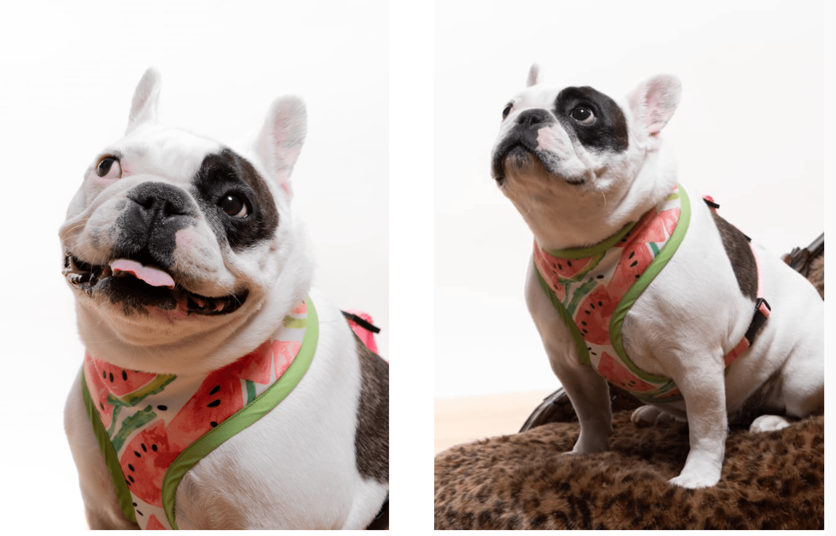 Pet Portraits with French Bulldog