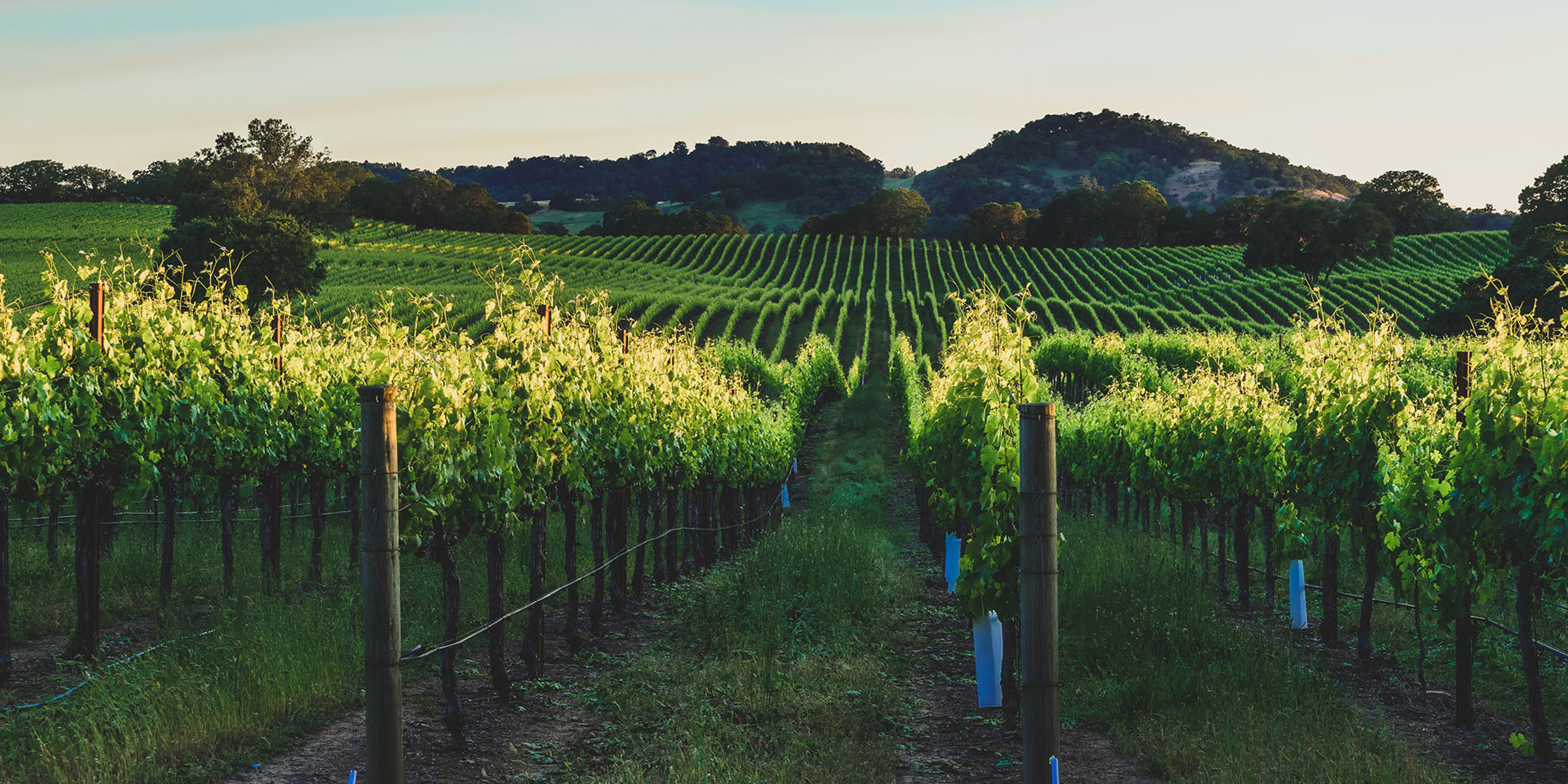 Sunset in the vineyards of Sonoma