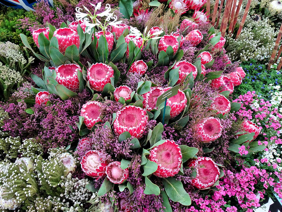 Proteas at the Chelsea Flower Show
