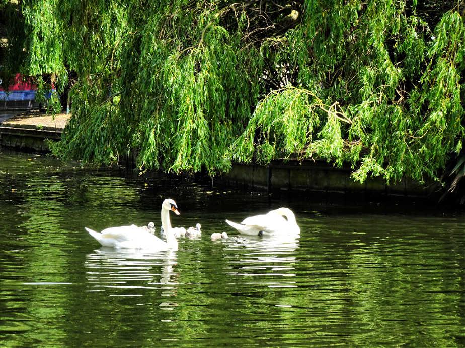 Swans in Little Venice