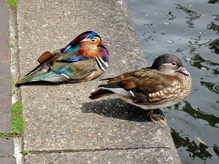 Birds on Regent's Canal