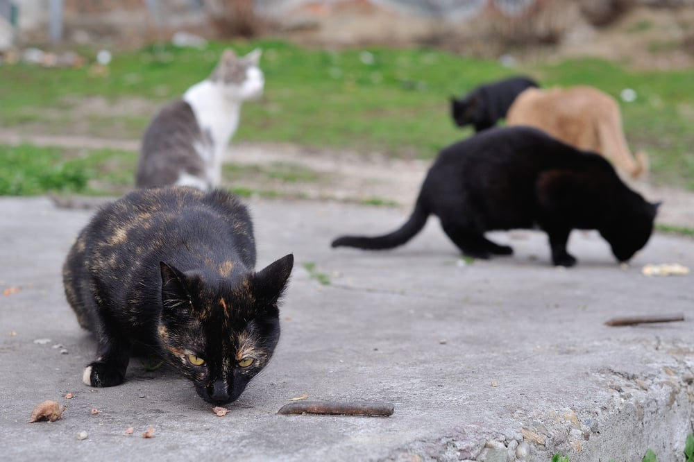 Reasons to spay or neuter your cat