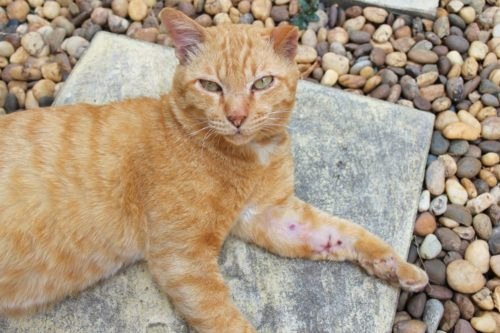 How to treat an open wound on a cat