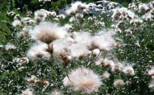 Canada Thistle Seed