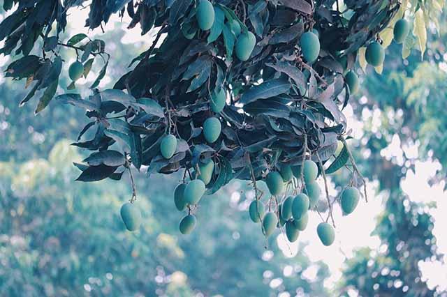 Vedanta promotes fruit farming in Karnataka