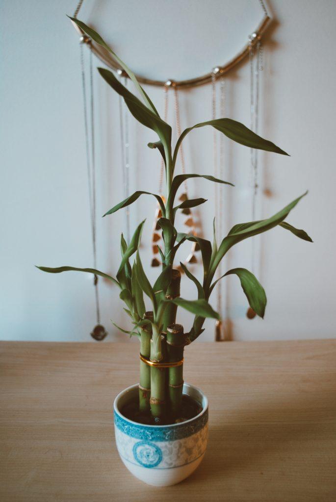 Bonsai desk bamboo plant