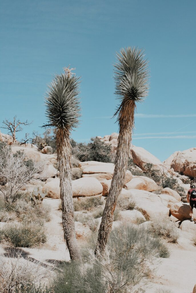 Two Joshua Trees in the National Park