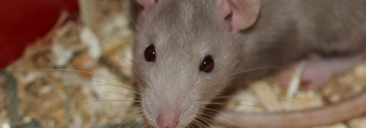 close up picture of a mouse