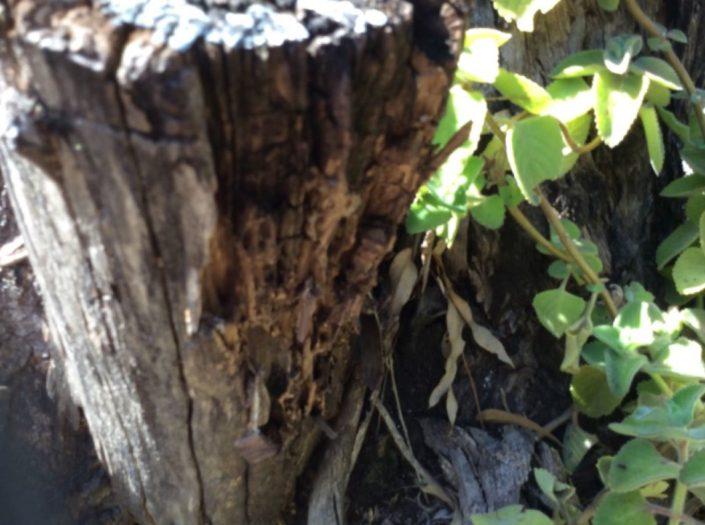 Termite damage to tree stumps
