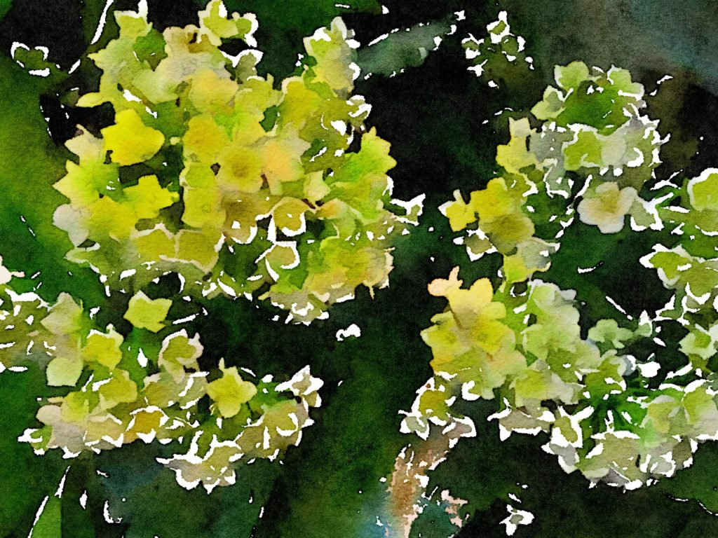 Small White Flowers in Waterlogue