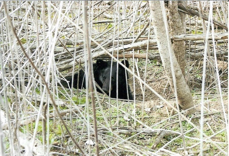 Learn bear-hunting basics with AGFC's lead bear biologist