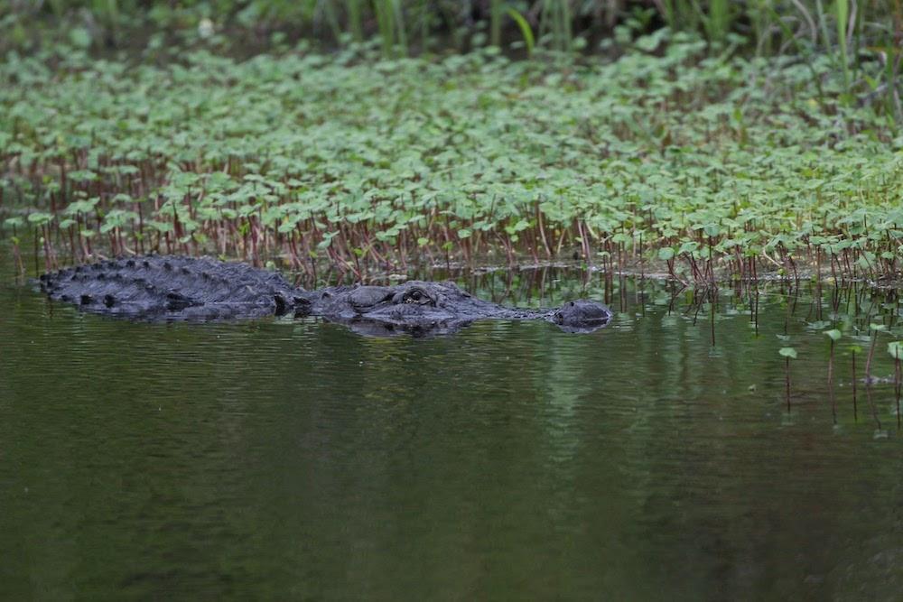 Arkansas alligator season opens September 17