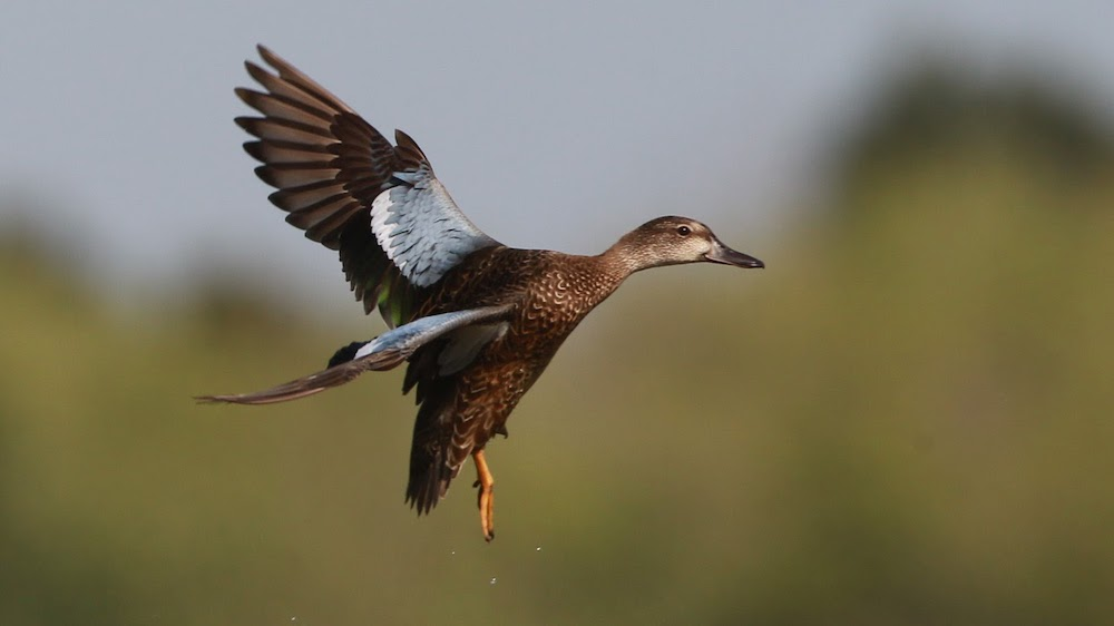 Five WRICE fields offered for early teal hunt Sept. 25-26