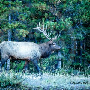 Point North Photography-Jeff Wier-Bull Elk