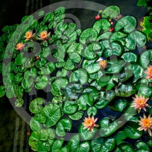 Point North Photography-LILY PADS