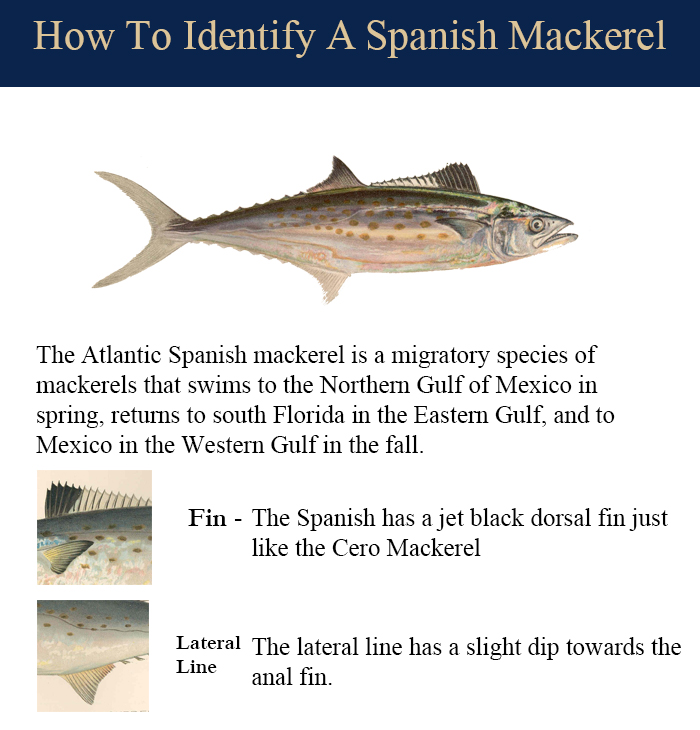 Spanish-Mackerel