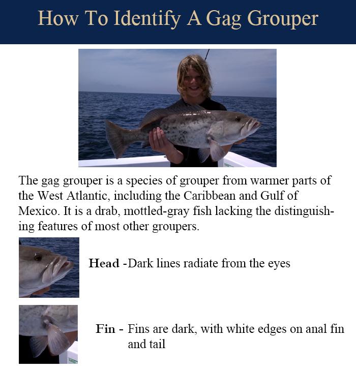 gag-grouper