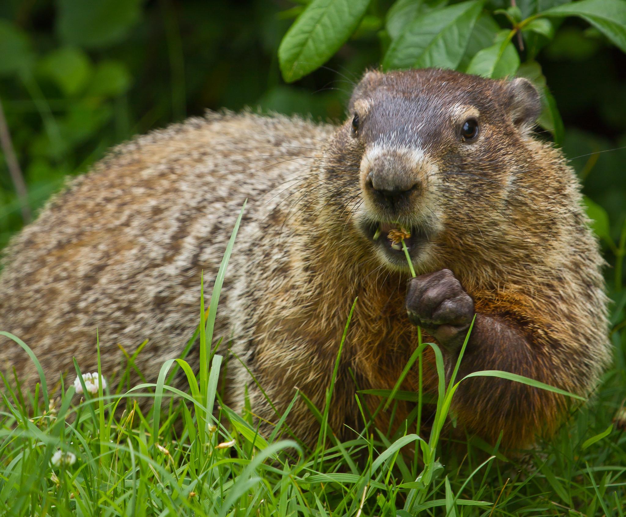 Modern-day ground hog, photographed in Shenandoah National Park (Evolution of Mammals)
