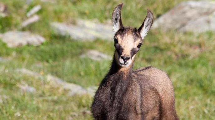 Chamois Goat Juvenile (Tom Mason)