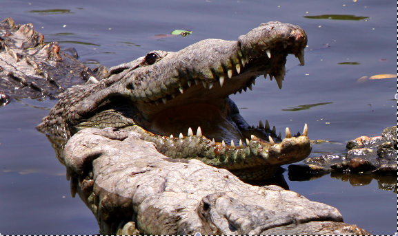 American crocodiles basking at a swamp in La Manzanilla, in the state of Jalisco, Mexico (Tomas Castelazo)