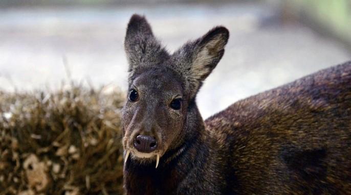 Musk Deer in Siberia (Julie Larsen Maher, WCS)