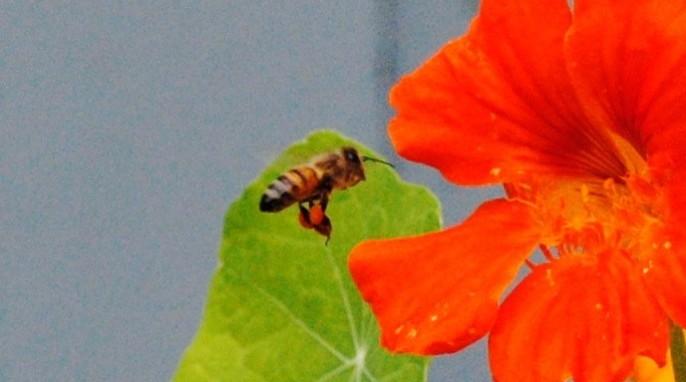 Honey bee gathering pollen (EH Science)