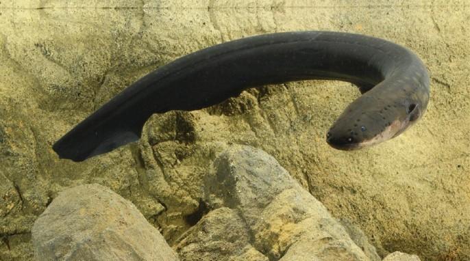 Electric eels deliver Taser-like shocks (Kenneth Catania, Vanderbilt University)